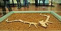 Cranio di Megaceros.jpg