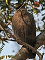 Crested Serpent Eagle (Spilornis cheela) in Kinnarsani WS, AP W2 IMG 5884.jpg