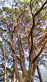 Crimson branches (8049442581) (2).jpg
