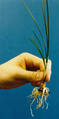 Crocus sativus plant with corm.png