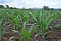 Crops (5686557925).jpg