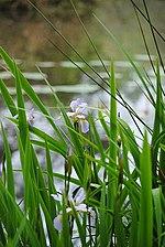Crosby-arboretum-pondside-iris.jpg