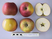Cross section of Baxter's Pearmain, National Fruit Collection (acc. 1948-105).jpg