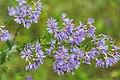Crow Wing State Park Flowers, Minnesota (29626829086).jpg