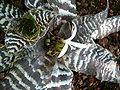 Cryptanthus zonatus HabitusFlower BotGardBln1006c.JPG