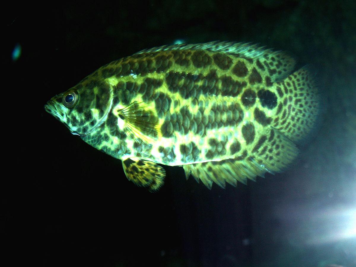 aquaria  leopard bush fish wikiversity tropical mix supervape tropical mix supervape