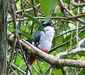Cuban Trogon, Priotelus temnurus - Flickr - gailhampshire (1).jpg