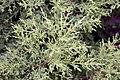 Cupressus macrocarpa Goldcrest 0zz.jpg