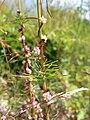 Cuscuta epithymum sl2.jpg