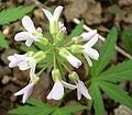 Cutleaf Toothwort (Dentaria laciniata) - Flickr - Jay Sturner (4).jpg