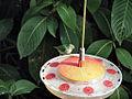 Cyanerpes caeruleus -Trinidad-8.jpg