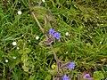 Cyanotis tuberosa (Roxb.) Schult. & Schult.f. (2898399377).jpg