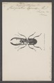 Cyclophthalmus - Print - Iconographia Zoologica - Special Collections University of Amsterdam - UBAINV0274 018 13 0050.tif
