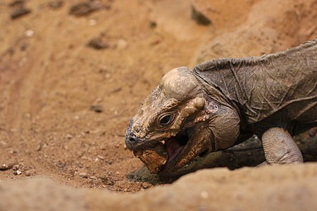 Cyclura cornuta in ZSL London Zoo (04).JPG