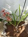 Cymbidium 'Sandridge Torch' (Orchidaceae) plant.jpg