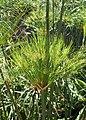 Cyperus papyrus kz01.jpg