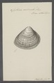 Cytherea corbicula - - Print - Iconographia Zoologica - Special Collections University of Amsterdam - UBAINV0274 078 01 0010.tif