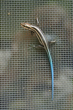 DO - Common Five-lined Skink (Plestiodon fasciatus) (4073328823)