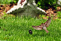 DSC 2264 1 72 - Sparrow bird flight.jpg