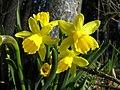 Daffodil - Flickr - Stiller Beobachter.jpg