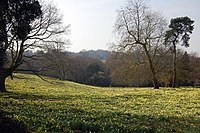 Daffodils in West Meadow, Warley Place. - geograph.org.uk - 1218587.jpg