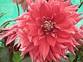 Dahlia from Lalbagh Flower Show August 2012 4617.JPG