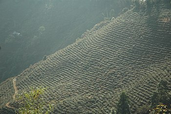 Terraced rows of bushes growing on a hillside.