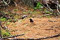 Dark-eyed junco (42971530641).jpg