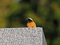 Daurian Redstart Male ジョウビタキ (242467865).jpeg