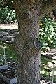 Davidia involucrata in Jardin botanique de la Charme.jpg