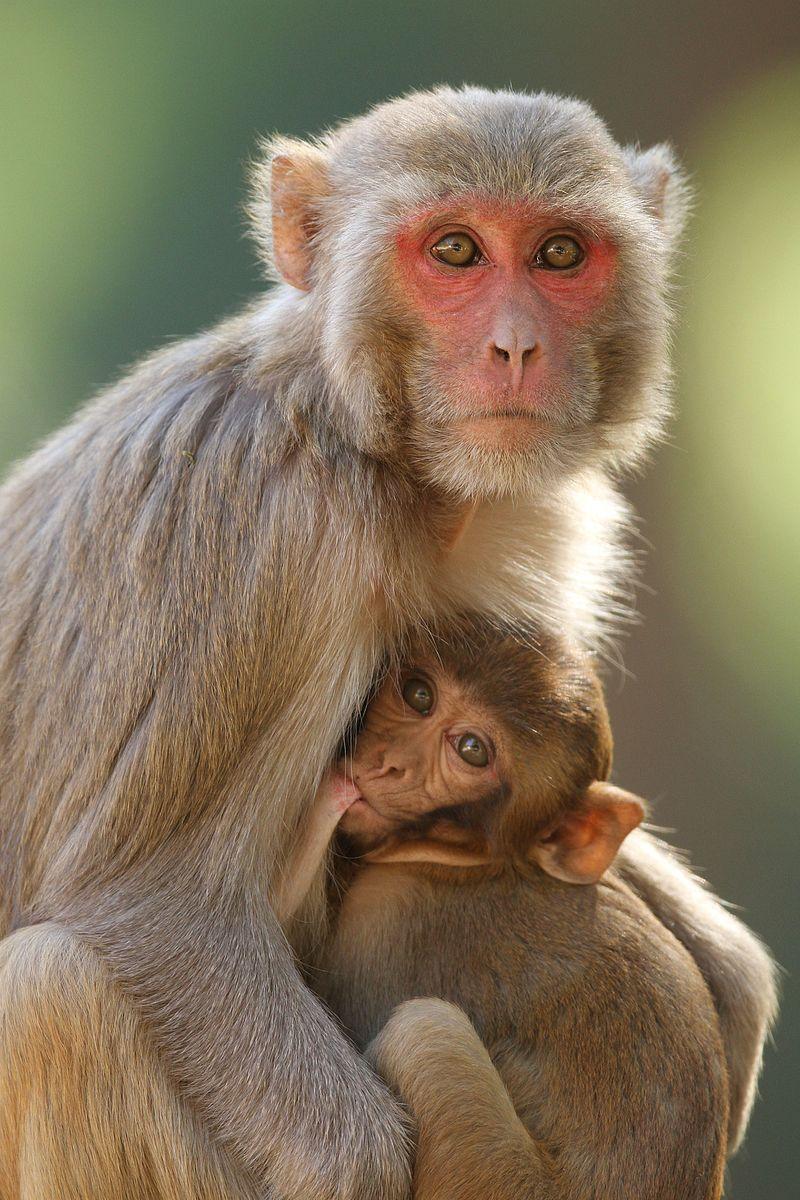 Davidraju img15(Macaca mulatta) Rhesus macaque.jpg