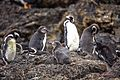 Day trip from Puerto Varas to Isla Grande de Chiloe - a visit and boat trip to Pinguinera Isloto de Punihuil on the open Ocean - Peruvian (Humboldt) Penguin (Spheniscus humboldt), mostly ? - (25185182305).jpg