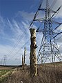 Dead tree trio near Rowley - geograph.org.uk - 674228.jpg