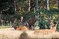 Deer - RSPB Minsmere (37802988952).jpg
