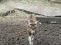 Deer in Zoo Negara Malaysia (19).jpg