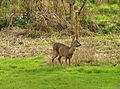 Deer near Dartington.jpg