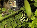 Dendrobates auratus (Antwerp Zoo).jpg