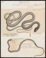 Dendrophis liocercus - 1700-1880 - Print - Iconographia Zoologica - Special Collections University of Amsterdam - UBA01 IZ12000109.tif