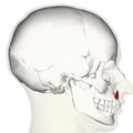 Depressor septi nasi muscle lateral.png