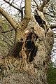 Derelict wood pasture ancient oak pollard in derelict wood pasture, April 2017, Aldermaston.jpg