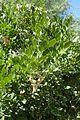 Dermatophyllum secundiflorum kz1.jpg