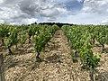 Des vignes à Irancy en juin 2020.jpg