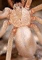 Desert recluse spider, Loxosceles sp (F Sicariidae) (4246083094).jpg