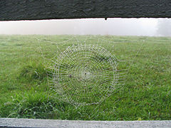 Dew-laden spider web against a foggy cow pasture.jpg