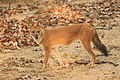 Dhole or Wild dog (49).jpg