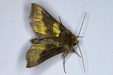 Diachrysia chrysitis, Lodz(Poland)01(js).jpg
