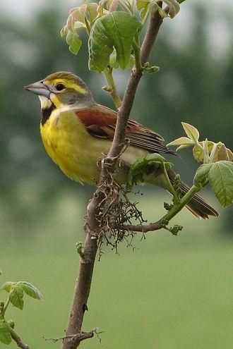 Dickcissel - Male in breeding plumage