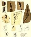 Die fossile Flora der Permischen Formation (1864) (20890043676).jpg