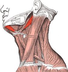 musculus digastricus