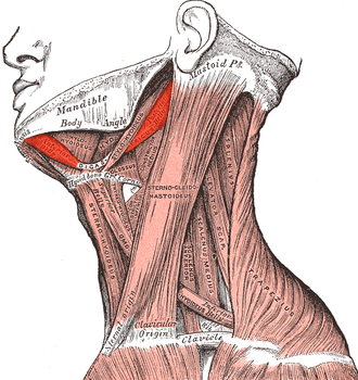 Digastric muscle - Muscles of the neck. Lateral view.